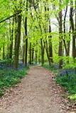 Bluebells r na angielskiej las podłoga obraz royalty free