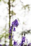 Bluebells r na angielskiej las podłoga obraz stock