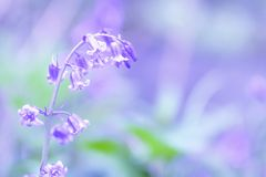 Bluebells r na brytyjskiej lasowej podłodze Wiosny świeżość fotografia stock