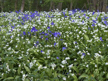 Bluebells and Ramsons, Hyacinthoides non-scriptaand and Allium u Royalty Free Stock Photo