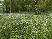 Bluebells and Ramsons, Hyacinthoides non-scriptaand and Allium u Stock Photography