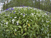 Bluebells and Ramsons, Hyacinthoides non-scriptaand and Allium u Stock Photos