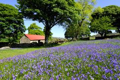 Bluebells and red roofed barn. Several large trees standing beside a dry stone wall and a red roofed stone barn on Dartmoor with a field of bluebells in the royalty free stock image