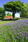 Bluebells and red roofed barn. Several large trees standing beside a dry stone wall and a red roofed stone barn on Dartmoor with a field of bluebells in the royalty free stock images