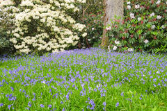 Bluebells and Rhododendrons bloom in the spring Royalty Free Stock Images