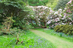 Bluebells and rhododendrons Royalty Free Stock Photography