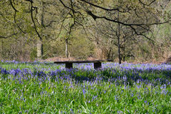 Bluebells with seat in forest Stock Image