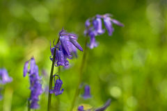 Bluebells, selective focus Stock Image