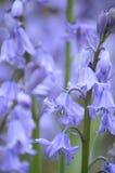 Bluebells в solihull стоковое фото rf
