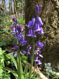 Bluebells in Spring. Beautiful Bluebells captured in the forest Stock Photography