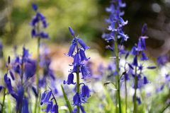Bluebells in Spring. Bluebells blossom in the meadows in springtime Royalty Free Stock Images