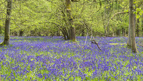 Bluebells in spring forest Royalty Free Stock Images
