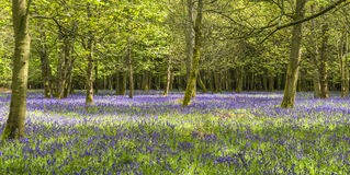 Bluebells in spring forest Stock Photo