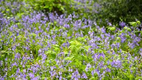 Bluebells. Spring green Royalty Free Stock Images