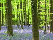 Bluebells spring in Hallerbos Royalty Free Stock Photography