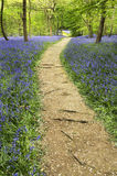 Bluebells in Springtime. Woodland scenic of a treelined pathway winding through a carpet of bluebells on either side Royalty Free Stock Images