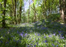 Bluebells at springtime. Bluebells in a dell in Cheshire England at springtime Stock Images