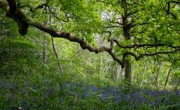 Bluebells in springtime, in Ruislip Woods National Nature Reserve, Hillingdon UK.