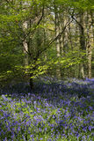 Bluebells in Staffhurst Woods Royalty Free Stock Photography