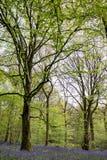 Bluebells in Staffhurst Woods Stock Images