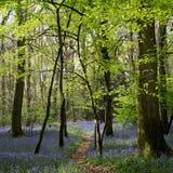 Bluebells in Staffhurst Woods Royalty Free Stock Image