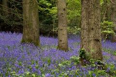 Bluebells in Staffhurst Woods Stock Photos
