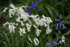 Bluebells in Staffhurst Woods Royalty Free Stock Photo