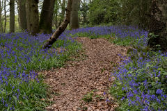 Bluebells in Staffhurst Woods Stock Photography