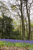 Bluebells in Staffhurst Woods Royalty Free Stock Photos