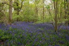 Bluebells in Staffhurst Woods Stock Image