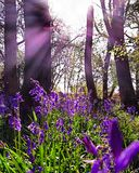 Bluebells in the Sunlight. Bluebells illuminated by the sun. Summertime Stock Images
