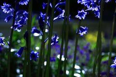 Bluebells Sunlit fotos de stock royalty free