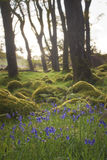 Bluebells surrounded by moss lit up by morning sun. Walking through beautiful irish forest, hiking the wicklow way royalty free stock photo