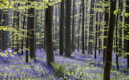 Bluebells in Tranendal Royalty Free Stock Images