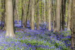Bluebells in Tranendal Royalty Free Stock Photography