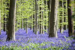 Bluebells in Tranendal Royalty Free Stock Image