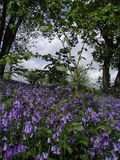 Bluebells in the trees at springtime Royalty Free Stock Photo
