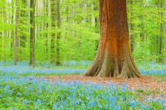 Bluebells and trunk Stock Image