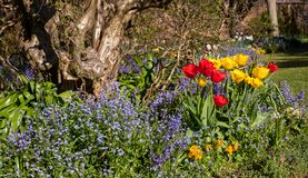 Bluebells and tulips in the spring sunshine at historic walled garden in Eastcote, London. Old gnarled tree behind.
