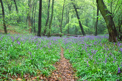 Bluebells in the UK. Royalty Free Stock Images