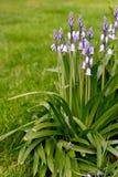 Bluebells und Rasen Stockfotos