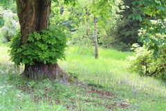 Bluebells under Horse Chestnut tree. English bluebells growing under the cover of a horse chestnut tree with dappled sunlight in springtime Royalty Free Stock Photos