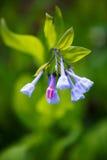 Bluebells Virginia Mertensia Wildflower Stock Photography
