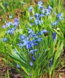 Bluebells w las scenie Obrazy Royalty Free