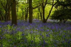 Bluebells W lesie Fotografia Royalty Free