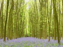 Bluebells w Philipshill drewnie, Chorleywood, Hertfordshire, Anglia, UK obraz royalty free