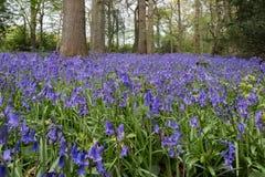 Bluebells w Staffhurst drewnach Fotografia Royalty Free