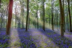 Bluebells w Wepham drewnach Fotografia Stock