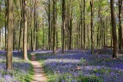 Bluebells w Wepham drewnie Zdjęcia Stock