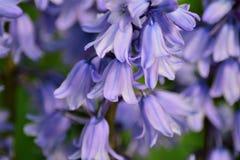 Bluebells w wiośnie Zdjęcia Royalty Free